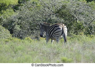 Plains Zebra, Addo Elephant National Park, Eastern Cape,...