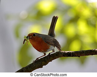 European robin (Erithacus rubecula) holding food against...