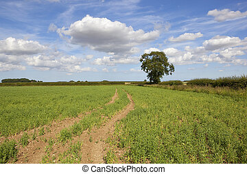 yorkshire wolds pea field - a pea field in the yorkshire...
