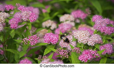 Bees pollinate pink flowers. summer - Bees pollinate pink...