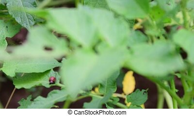 View of the leaf beetles. Chrysomelid. - View of the leaf...