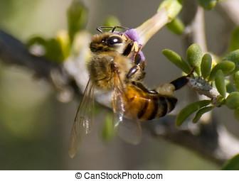 February Honey - An Arizona Honey Bee feeding on a purple...