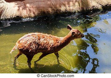 FUENGIROLA, ANDALUCIA/SPAIN - JULY 4 : Sitatunga Antelope at...