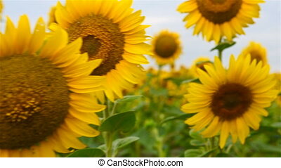 Flowering Sunflower On Sky  Background. Close Up