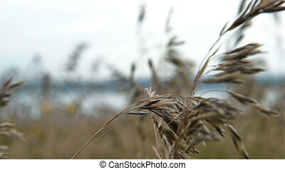 Wild Wheat - Field Of Wild Wheat. Slow Motion Effect