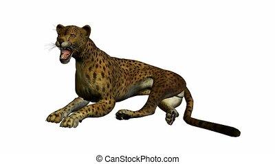 Cheetah Lying Down - Cheetah lying down on a white...