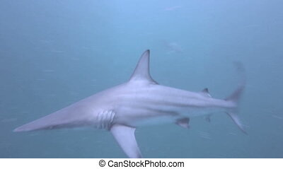Blacktip Sharks around bait