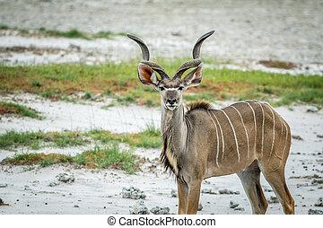 Male Kudu starring at the camera. - Male Kudu starring at...