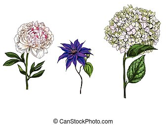 Set with peony, clematis and phlox flowers, leaves and stems...