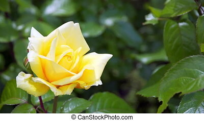 beautiful yellow rose in Sunny weather.