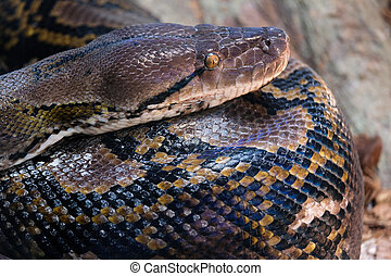 FUENGIROLA, ANDALUCIA/SPAIN - JULY 4 : Reticulated Python...