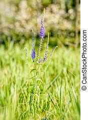 (veronica,  longifolium,  longifolia),  pseudolysimachion