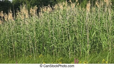 Wetland plants - swamp vegetation young reed plant concept