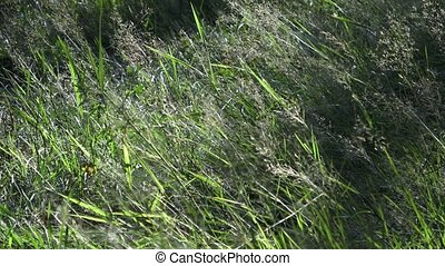 Grass flower tilt in a field of grass with light wind blowing