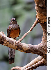 FUENGIROLA, ANDALUCIA/SPAIN - JULY 4 : White-rumped Shama...