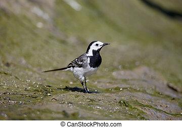 White wagtail, Motacilla alba, single bird on ground,...