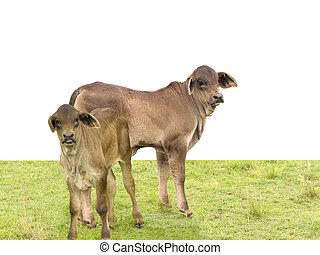 carne de vaca, joven, ganado, vacas, australiano, brahman,...