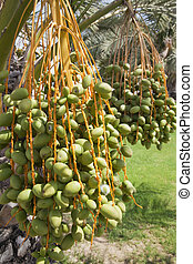 Dates Growing on Trees - Image of green unripe Arabian dates...