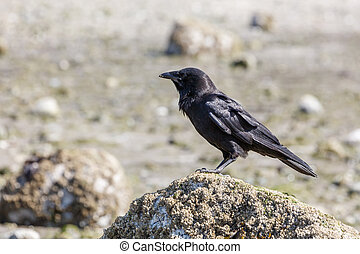 Black Northwestern crow Bird at Vancouver BC Canada