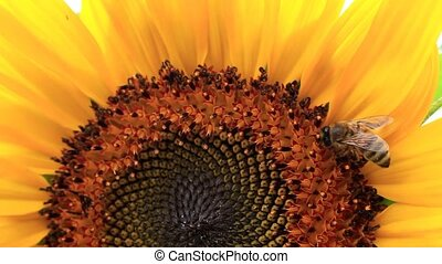 Bee and sunflower seeds - The bee collects nectar from the...