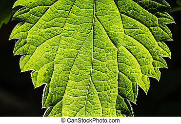 structure of a leaf - a backlighted green leaf shows its...