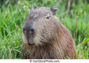 Portret of a capybara in the swamp of Esteros del Ibera,...
