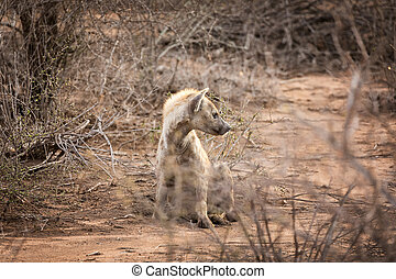 Adult hyena in late afternoon sunlight,
