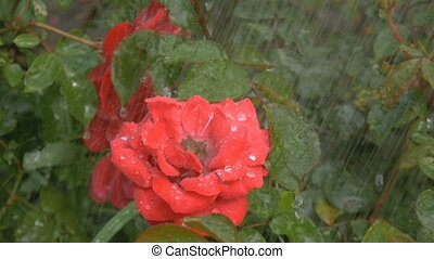 Blossom red flower under raindrops on green background