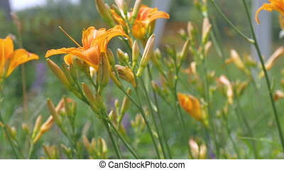 Lily flowers, yellow and orange grown in the home garden. -...