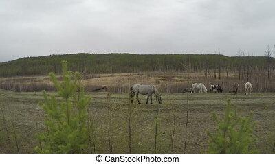 Herd of horses graze in nature 4K footage