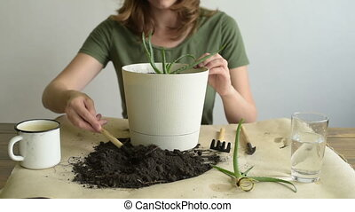Adding dirt into pot with aloe vera - Woman adding dirt into...
