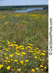 meadow of yellow flowers