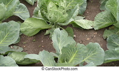 Growing cabbages on a cloudy summer day - Cabbage growing in...
