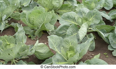 Cabbage growing in a summer garden, slow motion. Shot from...