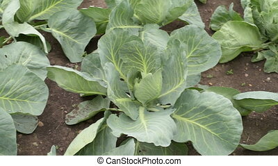 Cabbage growing up in the garden - Cabbage growing in a...