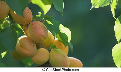 Ripe apricots on a branch