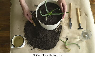 Putting dirt into pot with aloe vera - Female hand filling a...
