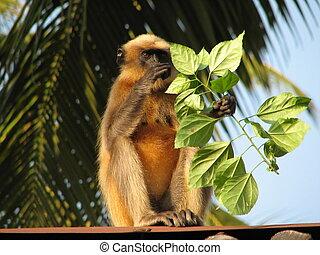 Langurs Presbytis entellus in Gokarna, Karnataka, India -...