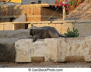Langurs Presbytis entellus in , Karnataka, India - Gray...