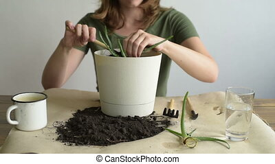 Woman planting a sprout of aloe vera. Woman is...