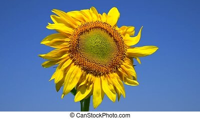 Blooming yellow sunflower against the blue clear sky...