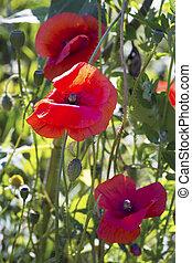 Opium poppy papaver somniferum flower on green natural...