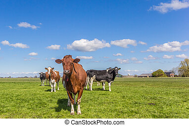Red Holstein cow in the dutch landscape near Groningen,...