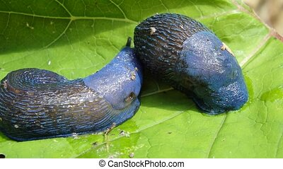 Blue slug in the woods, (Bielzia coerulans),