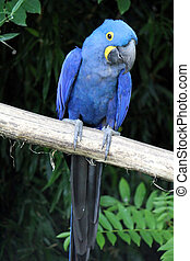 Hyacinthe macaw standing on a branch