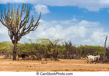 Cactus, trees and goat at Cabo de la Vela desert