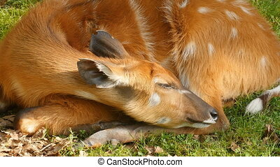 Young wild roe deer capreolus capreolus resting by the...