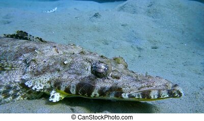 Tentacled flathead in the Red Sea, Egypt - Tentacled...