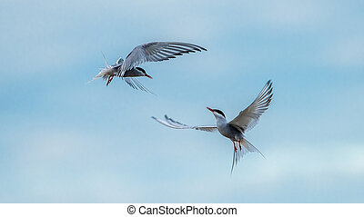 Dancing Terns - The common tern (Sterna hirundo) flies like...