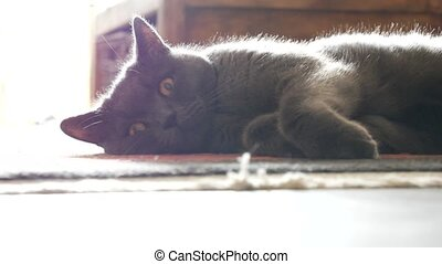 Gray cat sitting on the floor at home and looking at camera....